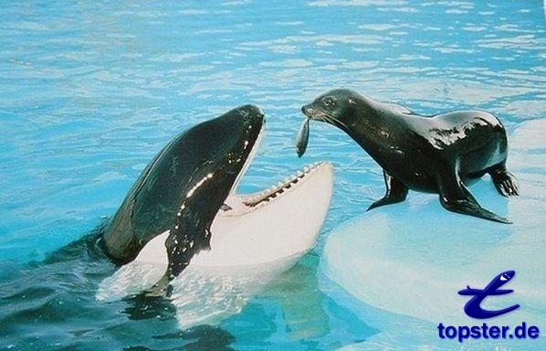 Seehund füttert Killerwal